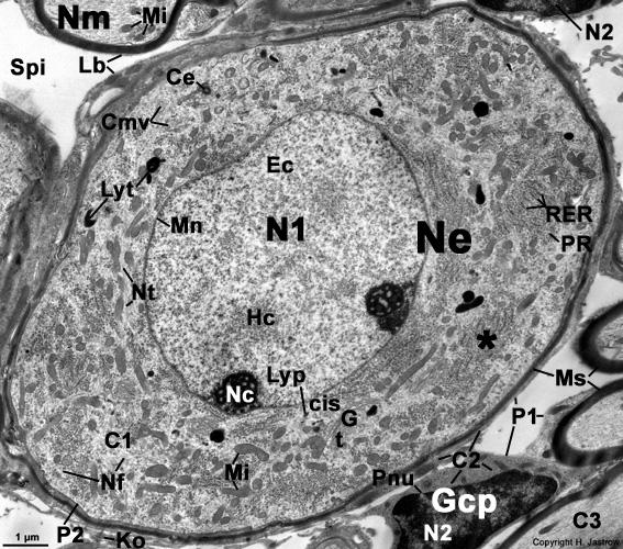 bipolar ganglion cell Dr. Jastrow's electron microscopic atlas