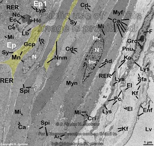 glatte Muskulatur Samenblase - Dr. Jastrows EM Atlas