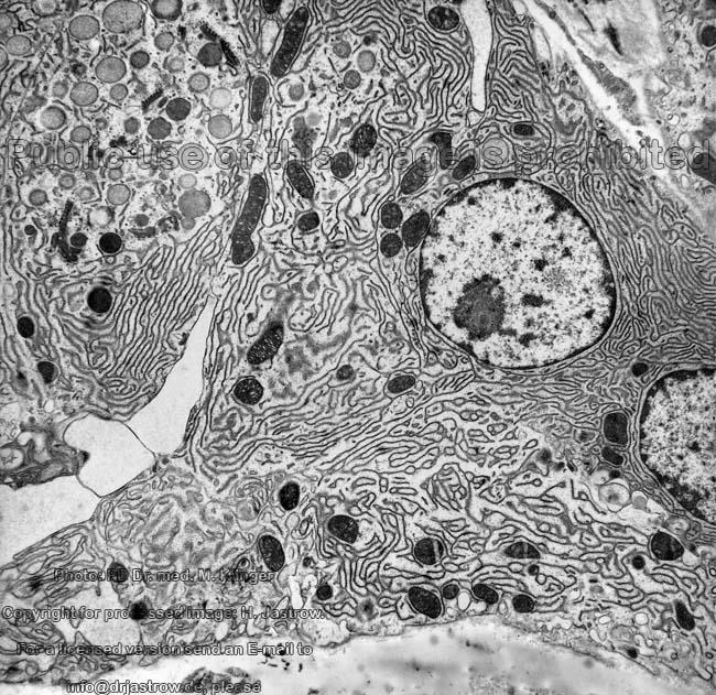 Exocrine Pancreas Dr Jastrows Electron Microscopic Atlas