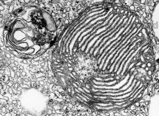 Mitochondrien - Dr.Jastrows EM-Atlas