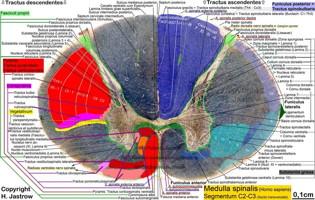 Rückenmark Querschnitt - Medulla spinalis - spinal cord