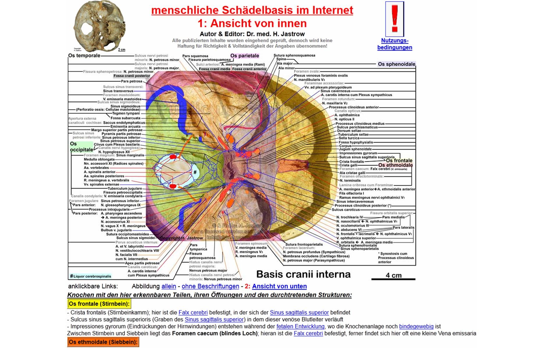 Charmant Dikotyle Schaft Anatomie Ideen - Menschliche Anatomie ...